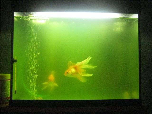 Почему в аквариуме цветет вода? 12 фото что делать, если вода зацвела? как быстро это исправить?