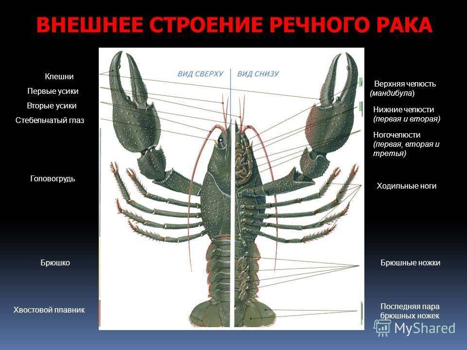 Класс ракообразные. отряды: десятиногие, равноногие, веслоногие, ветвистоусые и карпоеды. строение и размножение речного рака | биология