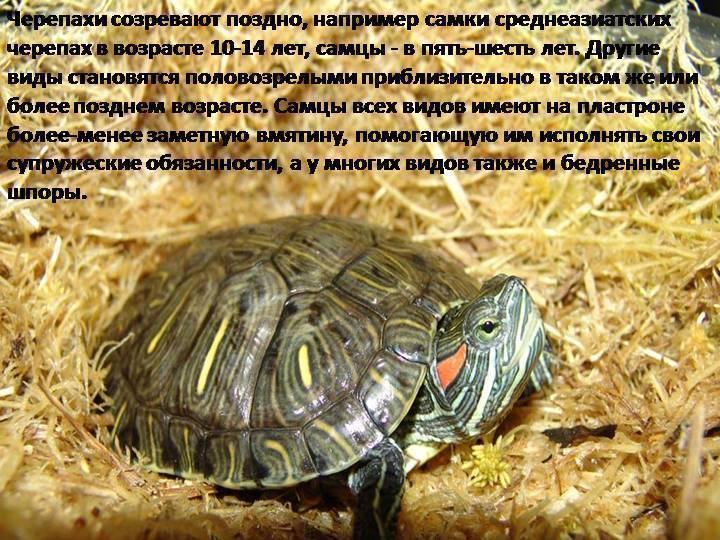 Как определить пол красноухой черепахи в домашних условиях: узнать мальчик или девочка (самец или самка), возраст