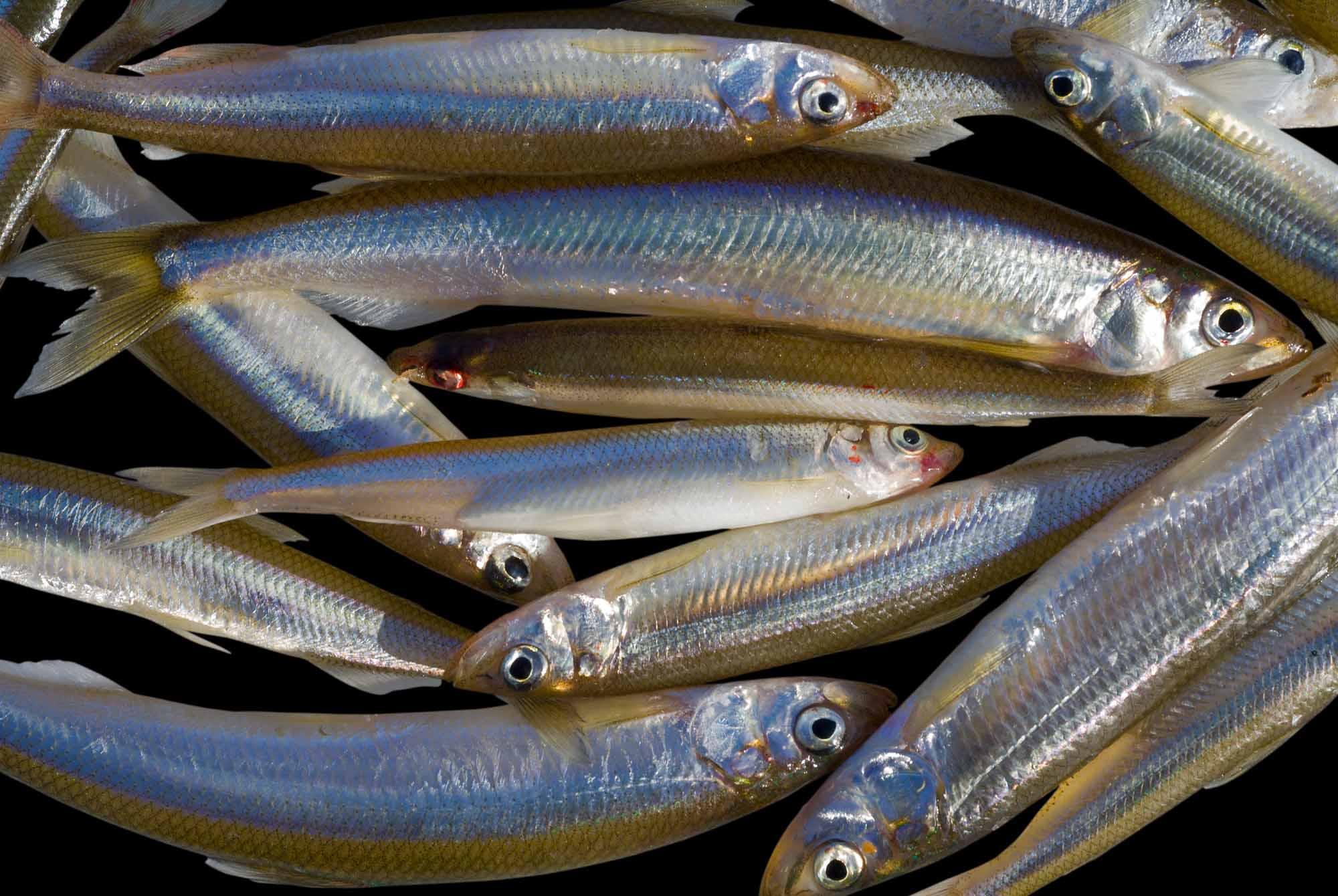 Рыба снеток (корюшка): описание, особенности и рецепты