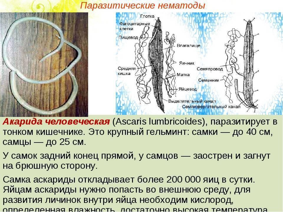 Аскарида круглый червь — parazit24