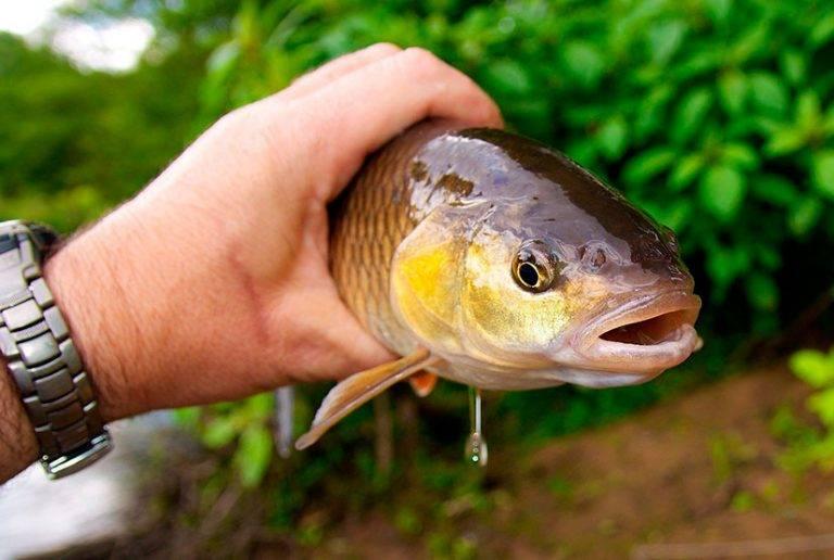 Ловля сопы летом — рекомендации и тактика ловли сопы летом
