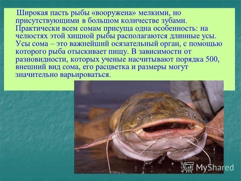 Рыбы черного моря - обзор промысловых и редких рыб. 145 фото и видео описание основных видов