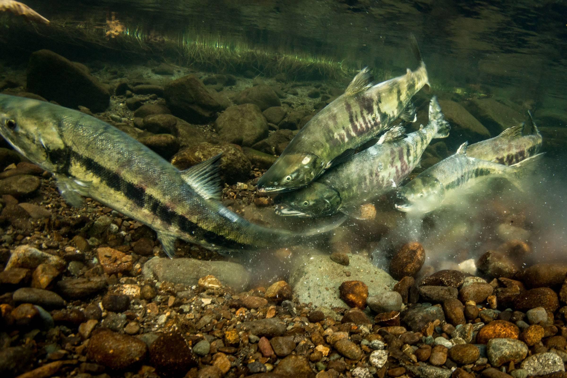 Рыба кета — как выглядит, полезные свойства