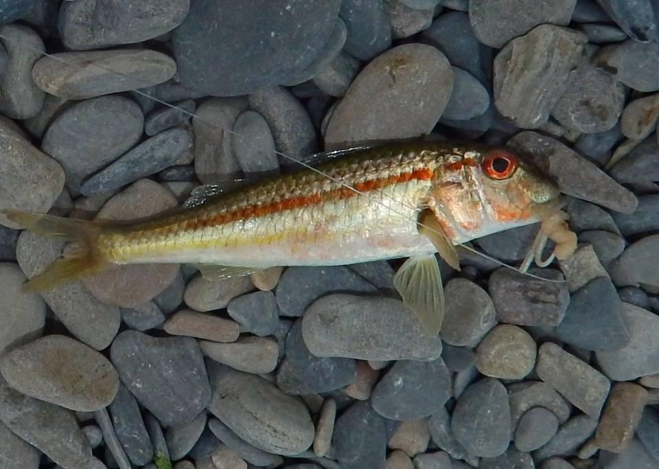 Рыба барабулька: фото, отзывы, как выглядит, где водится, как приготовить :: syl.ru