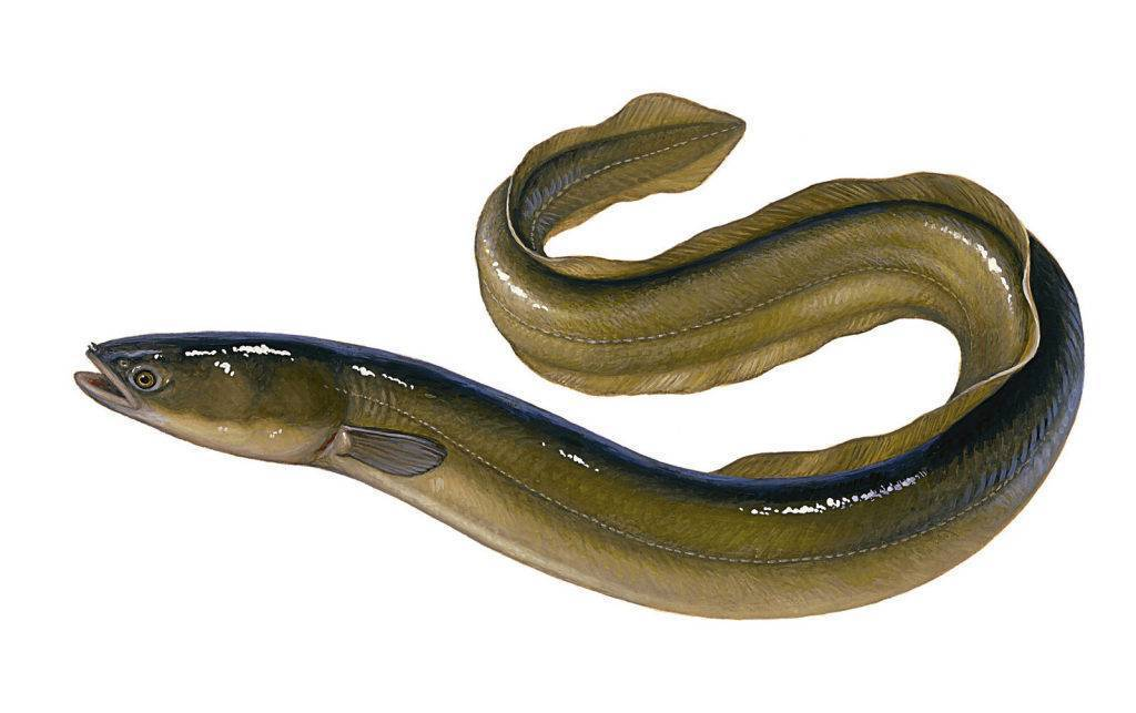 Угорь. рыба-феномен