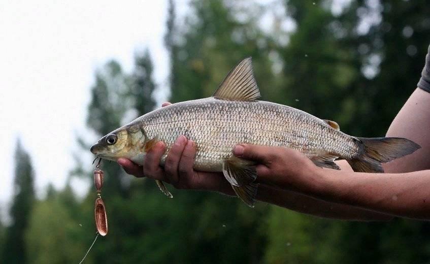 Рыба сиг?: фото и описание. как выглядит сиг?, чем питается и где водится