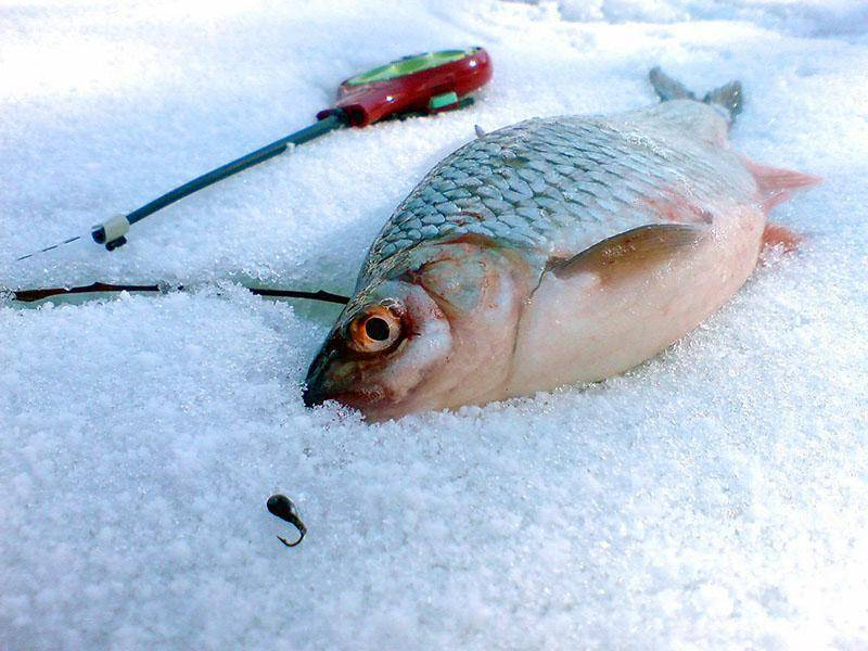 Зимняя ловля плотвы: снасти, техника, тактика