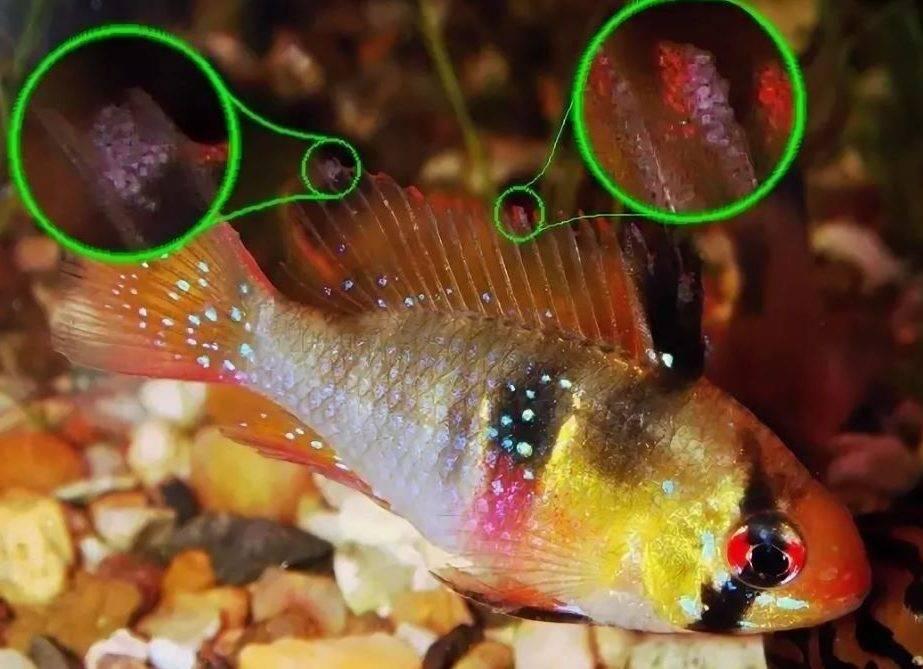 Болезни аквариумных рыб: лечение, фото, симптомы, диагностика болезней аквариумных рыб