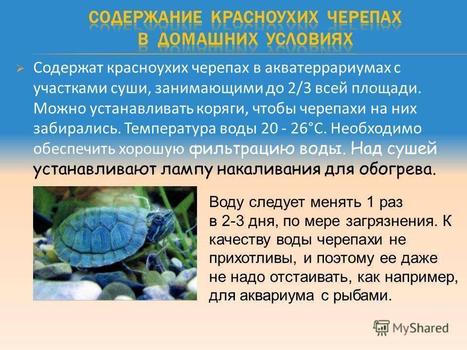 Сколько красноухая черепаха может прожить быть без воды?