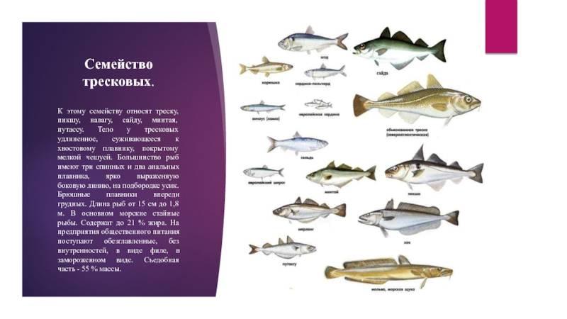 Корюшка: где водится и чем питается рыба, как ловить, снасти, фото