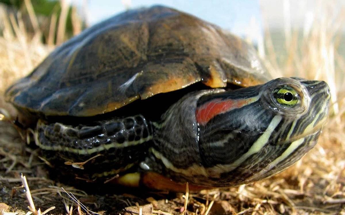 Сколько живут красноухие черепахи, содержание и уход за ними