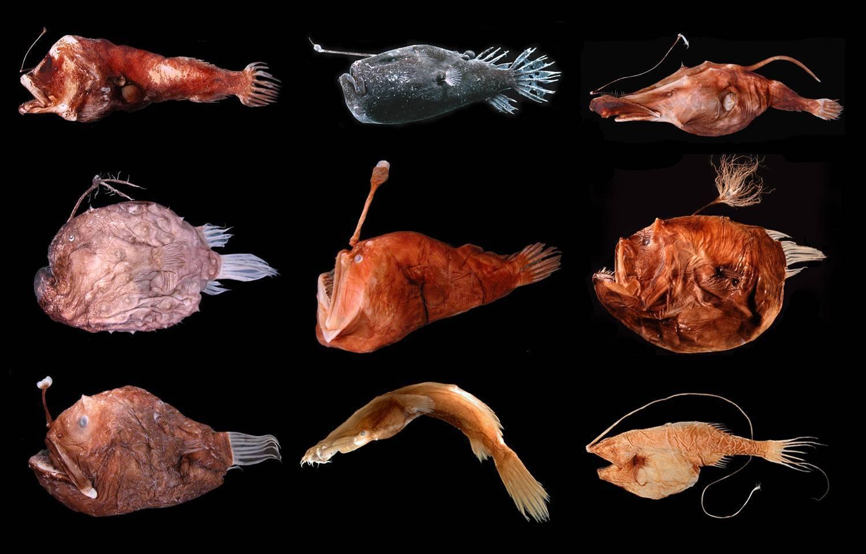 ?морской чёрт» — жизненный цикл рыбы глубоководный удильщик