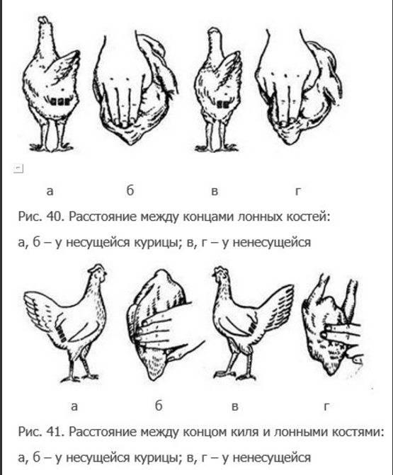 Каталог кур: подбор породы, описания, фото