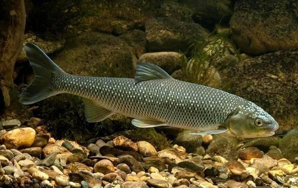 Рецепт приготовления деликатесной каспийской рыбы — кутума (8фото)