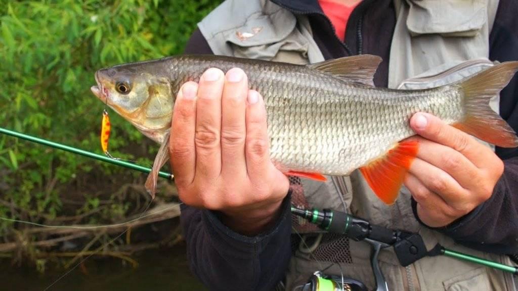 Ловля язя на спиннинг: приманки, воблеры и блесны на язя для реки