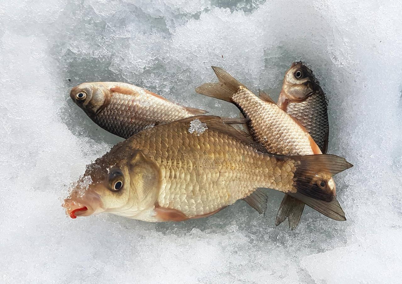 Ловля карася по первому льду, в глухозимье и по последнему льду