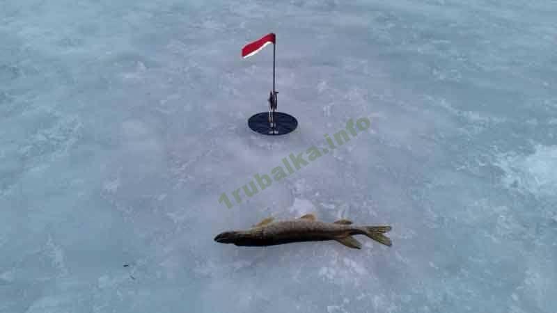 Как насадить живца на жерлицы? ловля на жерлицы. зимняя рыбалка