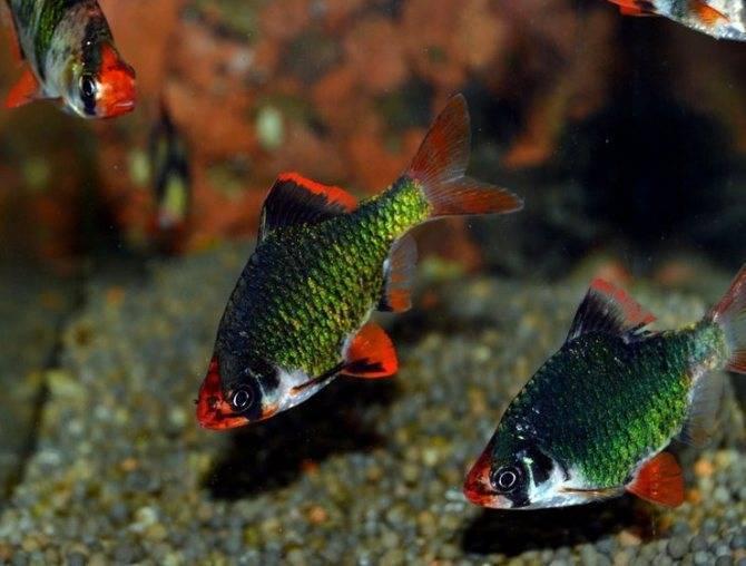 Необычная рыбка — зеленый барбус