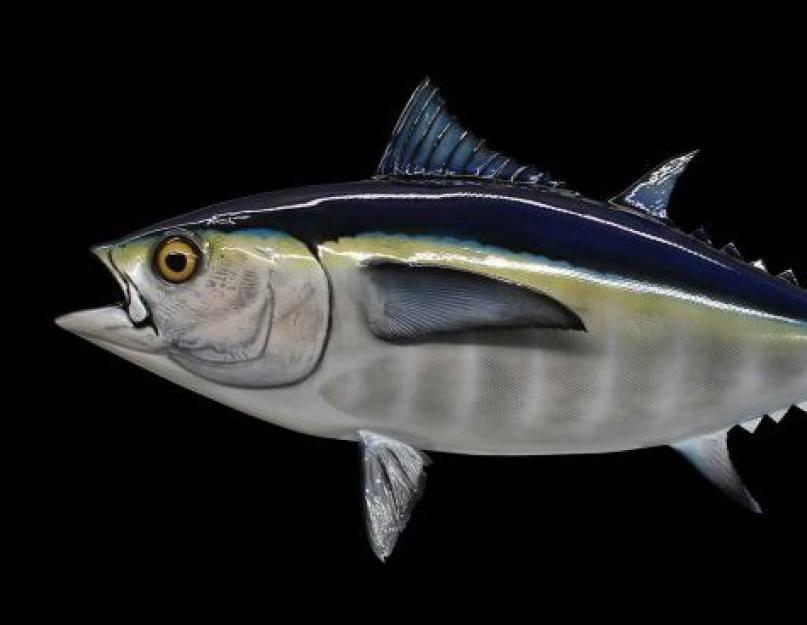 Тунец: полезные свойства и необыкновенный вкус мяса, описание видов, рецепты приготовления