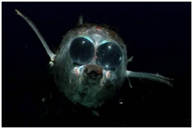 Рыба удильщик (морской черт): фото, приготовление, польза и вред