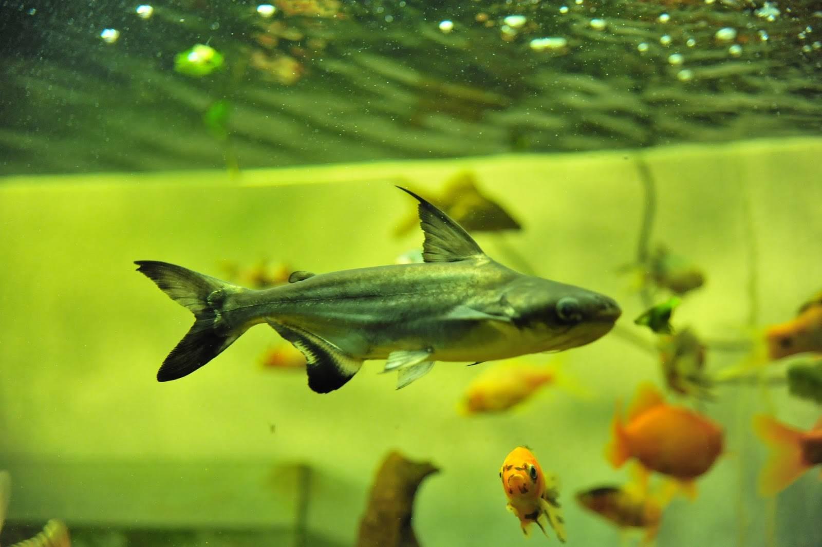 Домашние животные: акулий сом или сиамский пангасиус