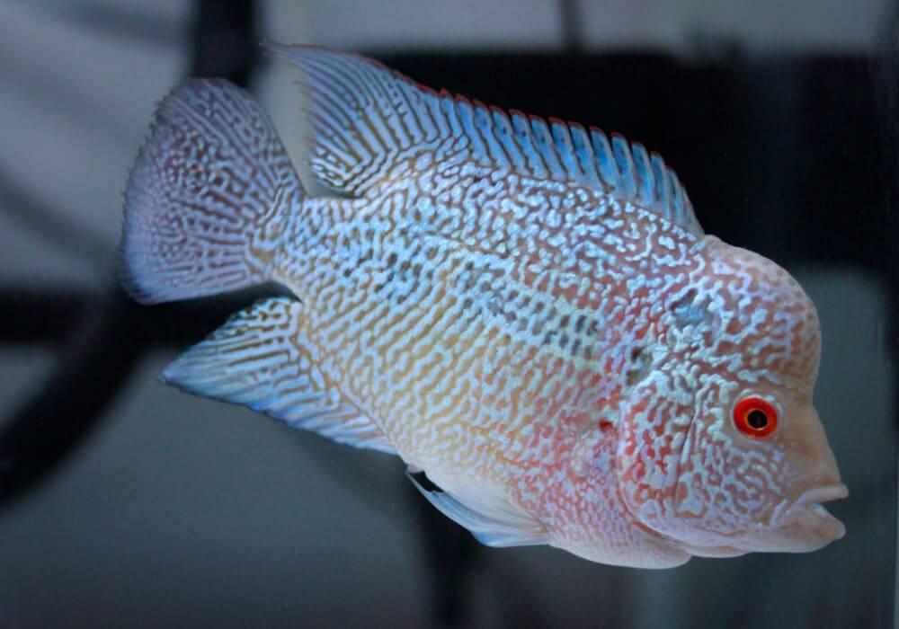 Аквариумные рыбки бриллиантовая и флауэр хорн. флауэр хорн — красота и необыкновенная форма. доступность для приобретения