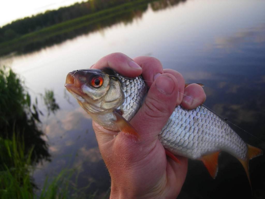 Особенности ловли плотвы на фидер - тактика и снасти