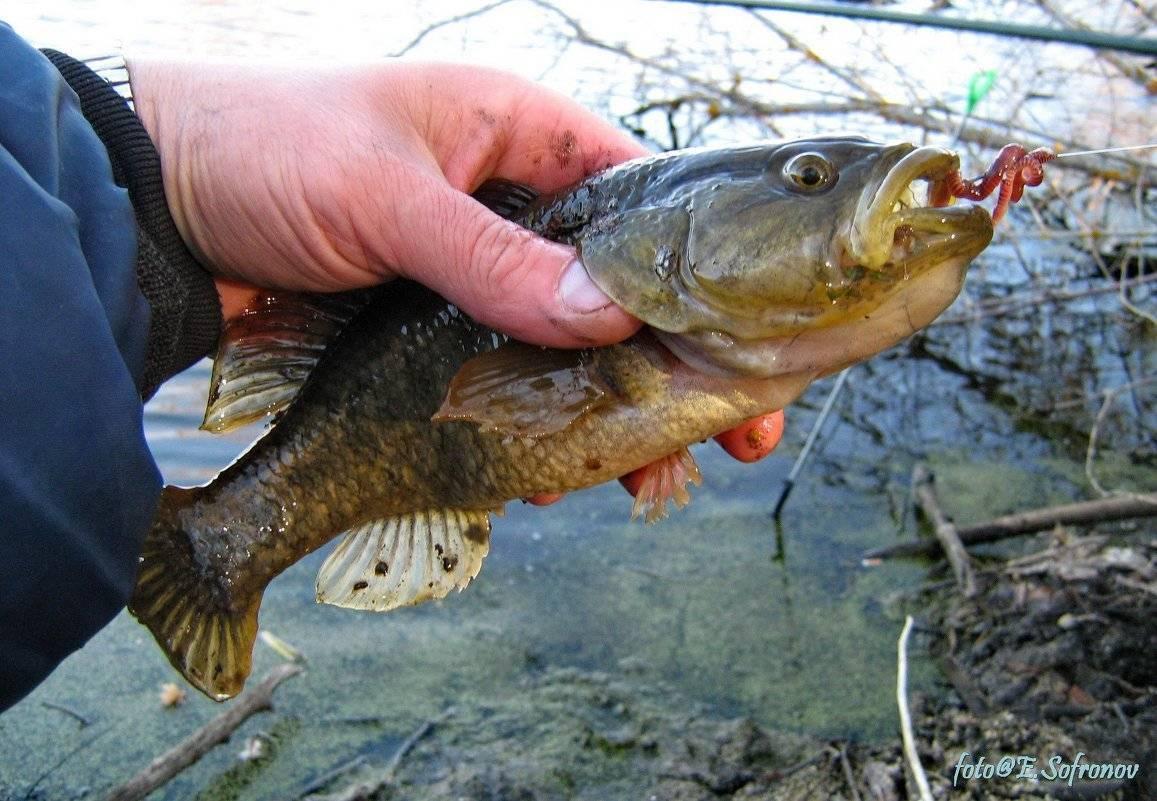 Рыба ротан: фото, методы ловли летом (видео), приготовление