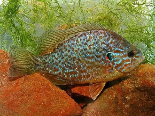 Стеклянный окунь: описание,содержание,размножение,фото,видео | аквариумные рыбки