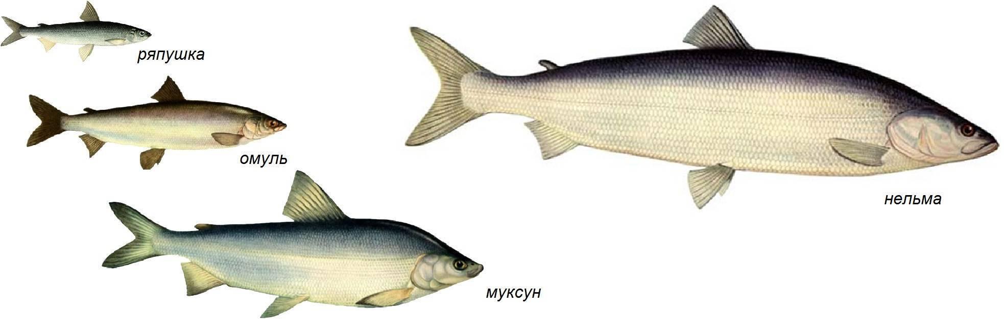Рыба семейства сиговых — информация о видах рыб ⋆ macho's rules
