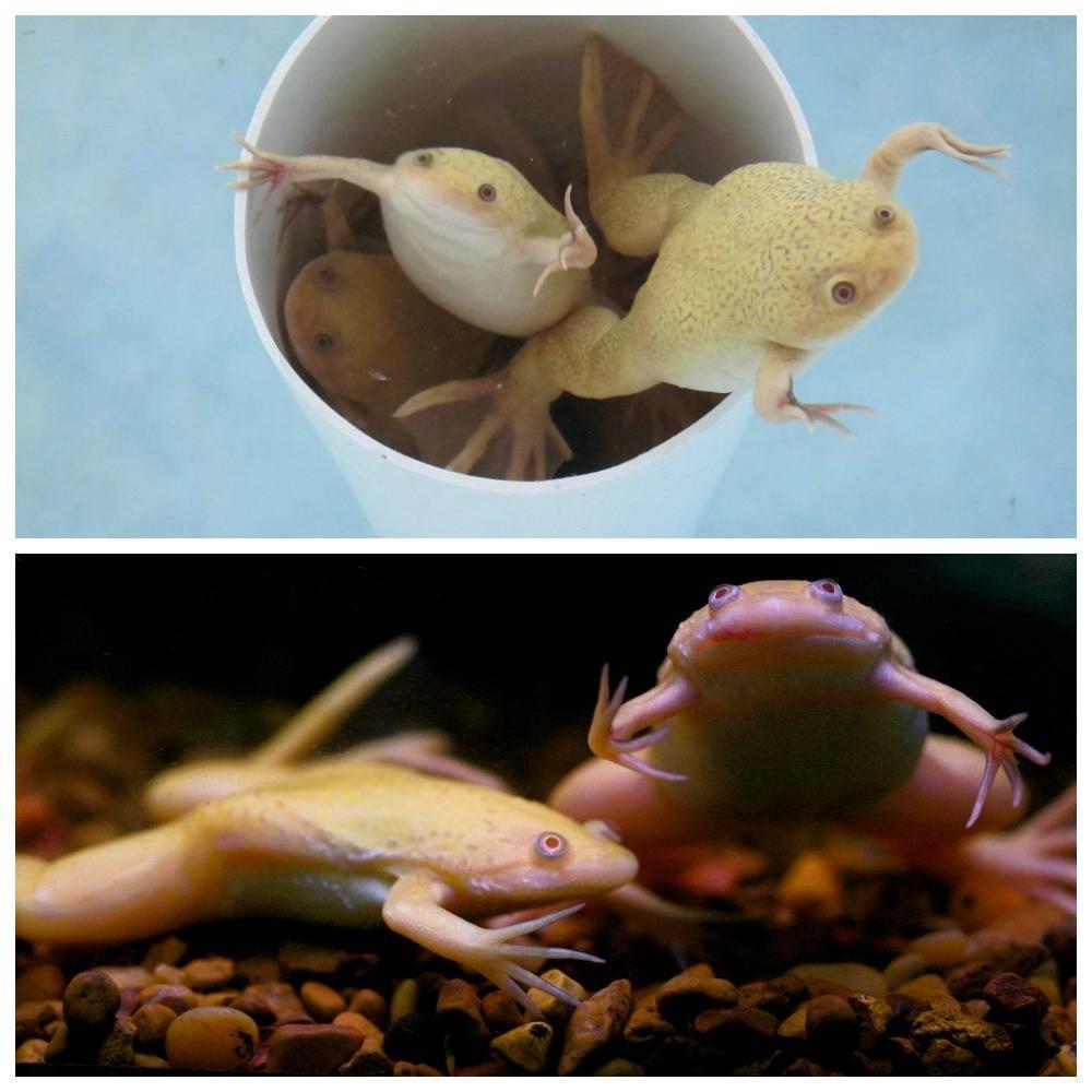 Аквариумные лягушки: содержание,уход,совместимость,разведение,описание .   аквариумные рыбки