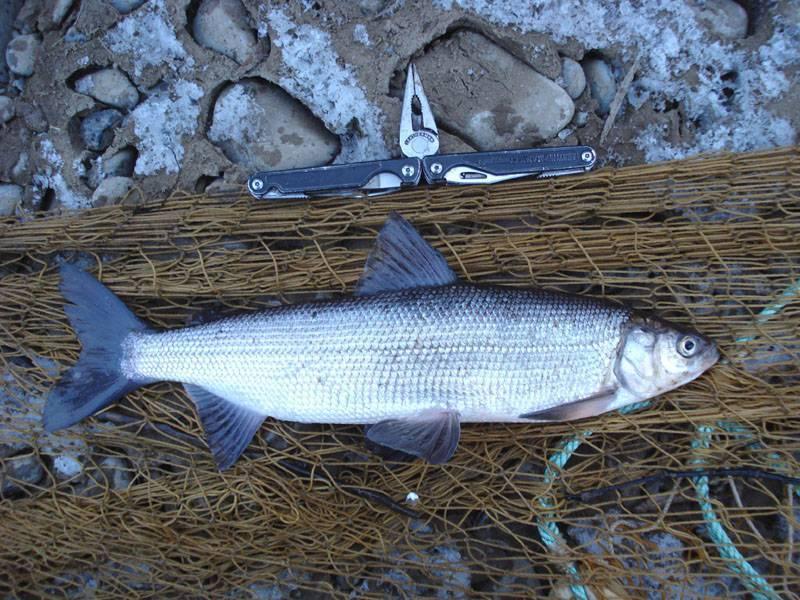 Омуль: что за рыба, ее разновидности. где водится омуль?