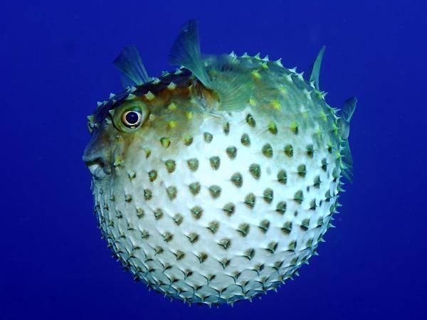 Зебрасома желтая или желтый парусник; описание,содержание,фото,видео,кормление | аквариумные рыбки