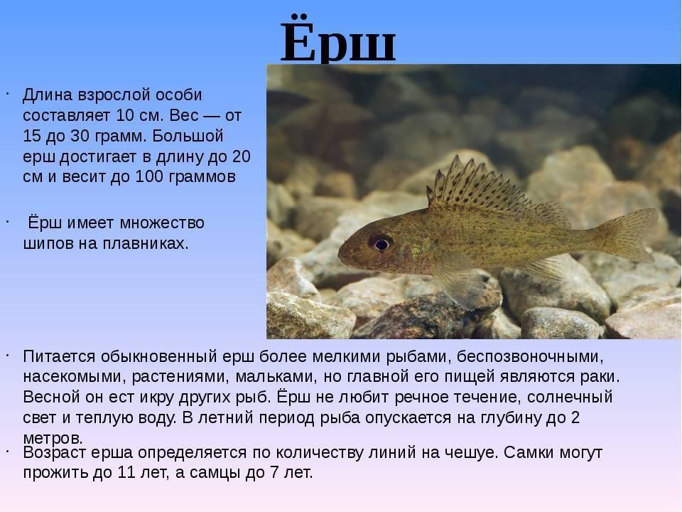 Чем питается карась, хищная это рыба или нет