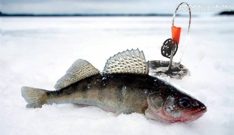 Ловля судака на жерлицы зимой, оснастка жерлицы на судака + видео
