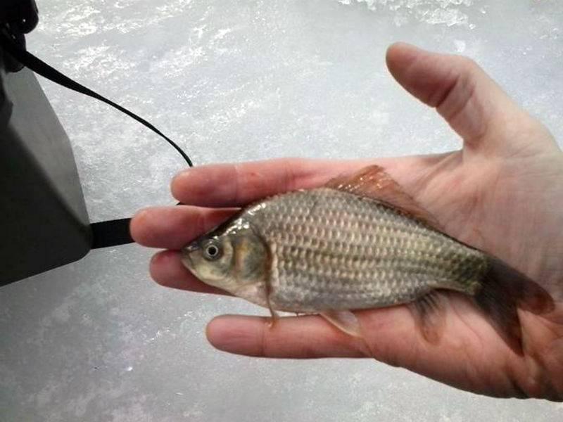 Зимняя рыбалка на прудового карася: ловля на мормышку