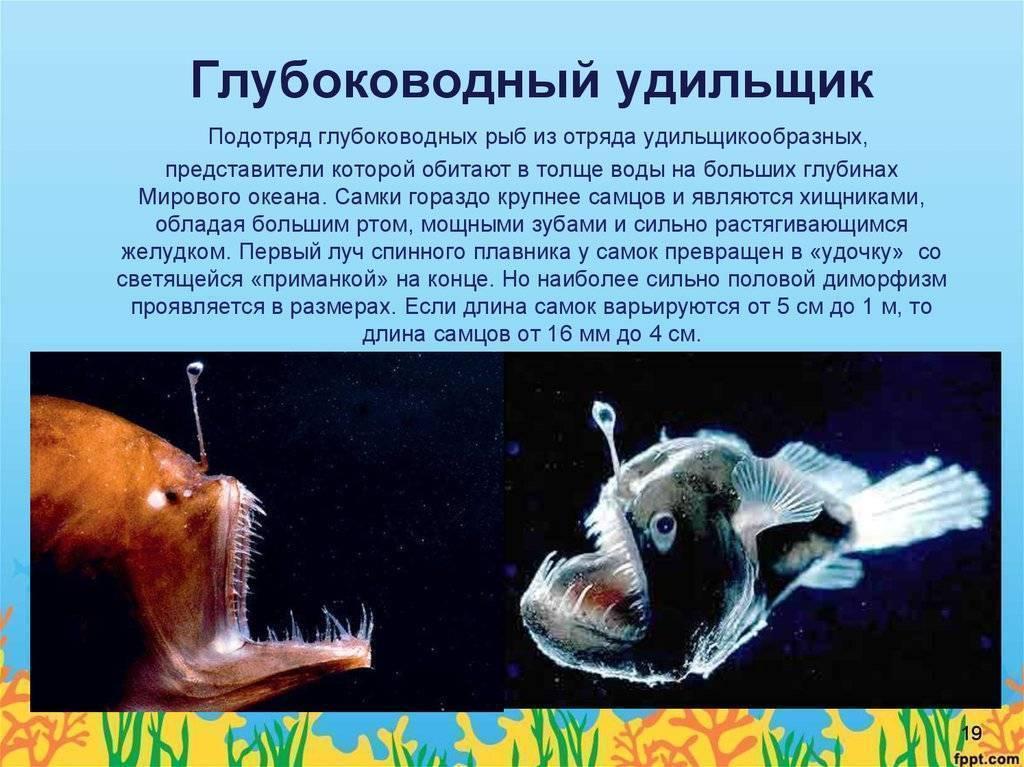 Описание глубоководной рыбы с фонариком на голове