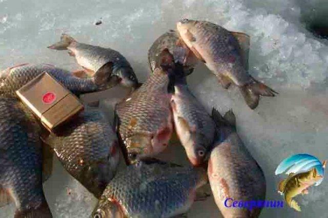 Ловля карася зимой: на мормышку и поплавочную снасть