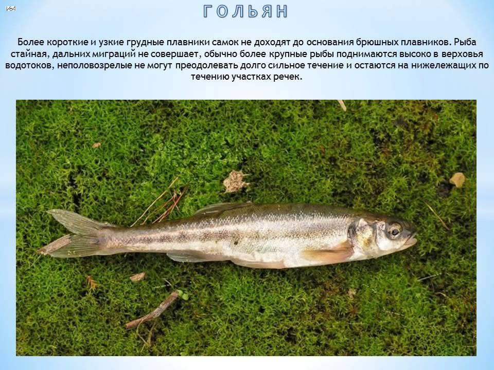 Гольян - название одно, а рыбы разные. разбираемся!