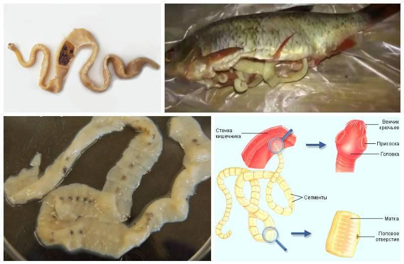 Рыбные паразиты: какие бывают, как распознать, заболевания паразитами