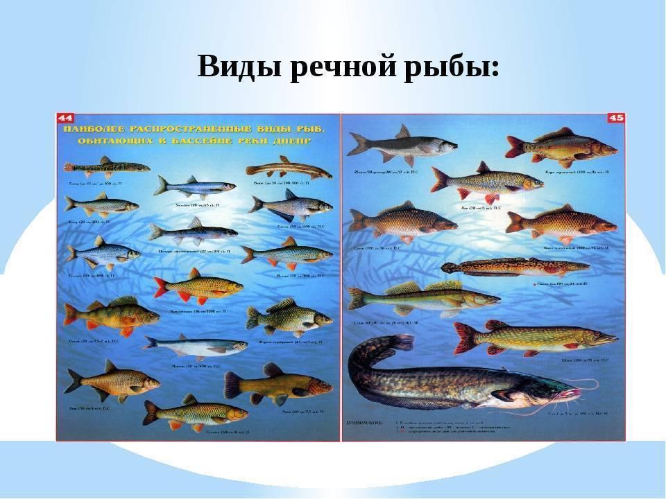 Список речных рыб — названия, отличия, образ жизни