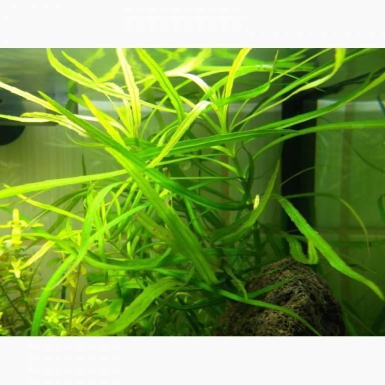 Погостемон октопус: содержание и разведение в аквариуме, фото