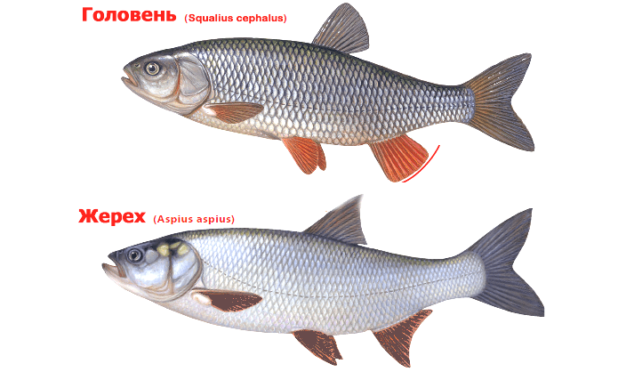 Ловля жереха на малых реках: особенности выбора снасти и приманки для рыбалки, секреты хорошего клева
