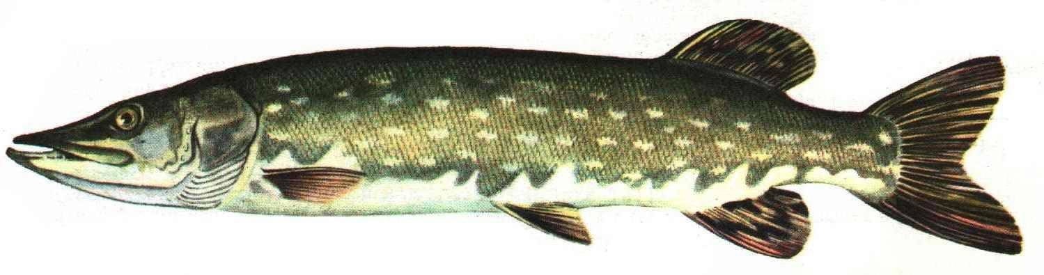 Рыба щука - возраст, размер,условия существования,чем питается, способы ловли,