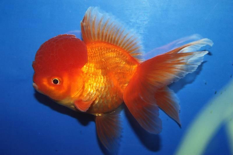 ᐉ рыбка красная шапочка или оранда красная: описание и содержание в аквариуме - kcc-zoo.ru