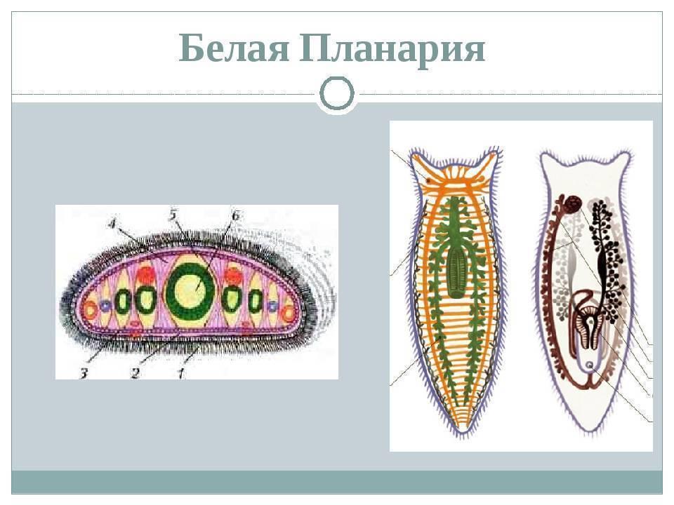 Белая планария: тип червей, системы планарии, класс, органы и строение