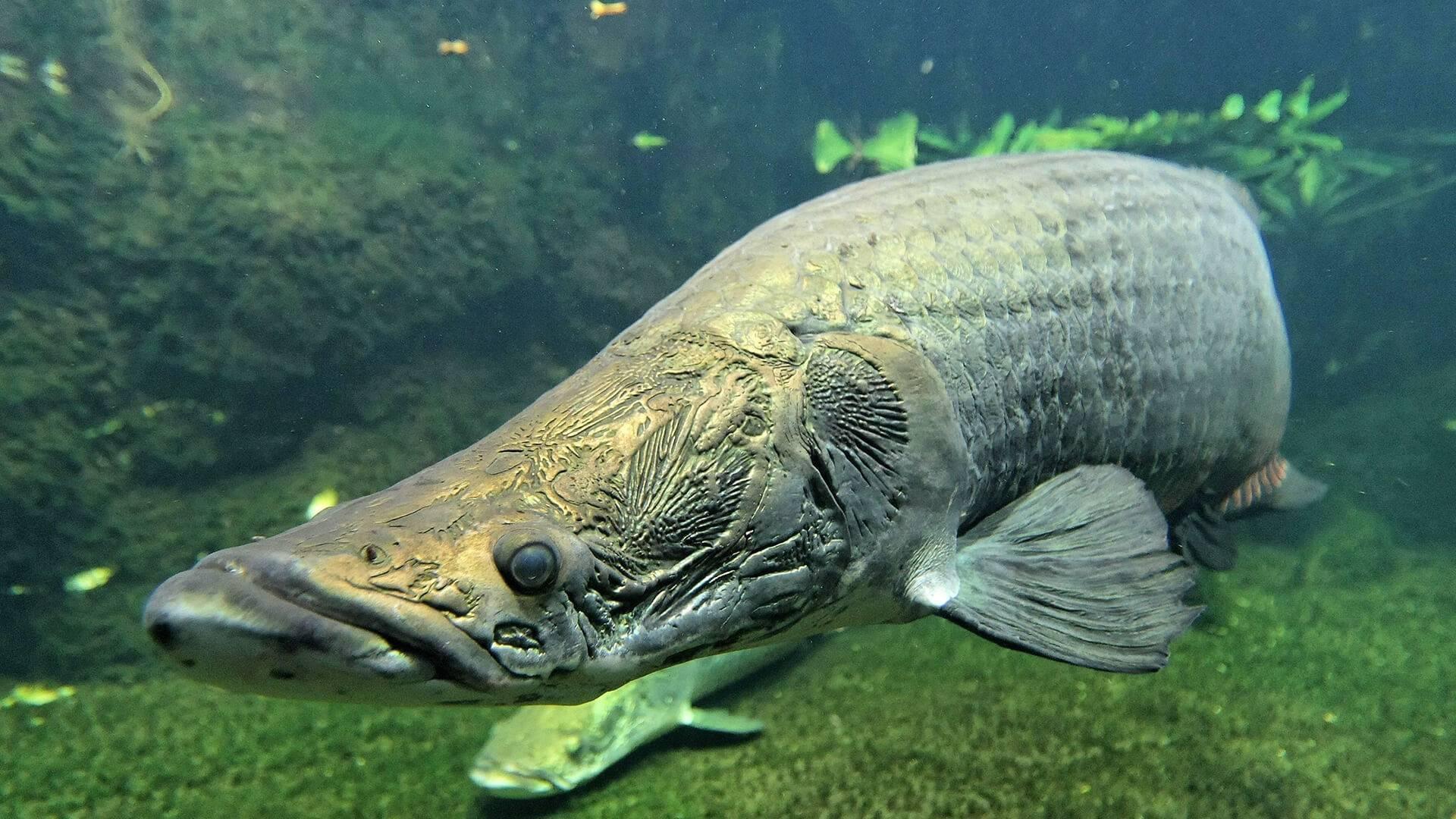 Арапайма рыба. образ жизни и среда обитания рыбы арапаймы | животный мир
