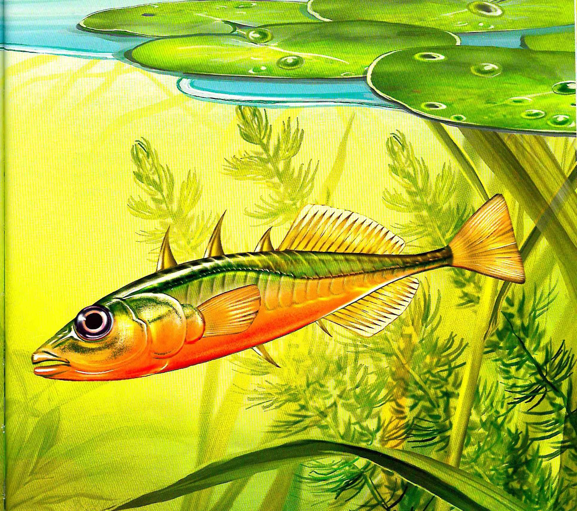 Трехиглая колюшка: описание рыбки, места обитания