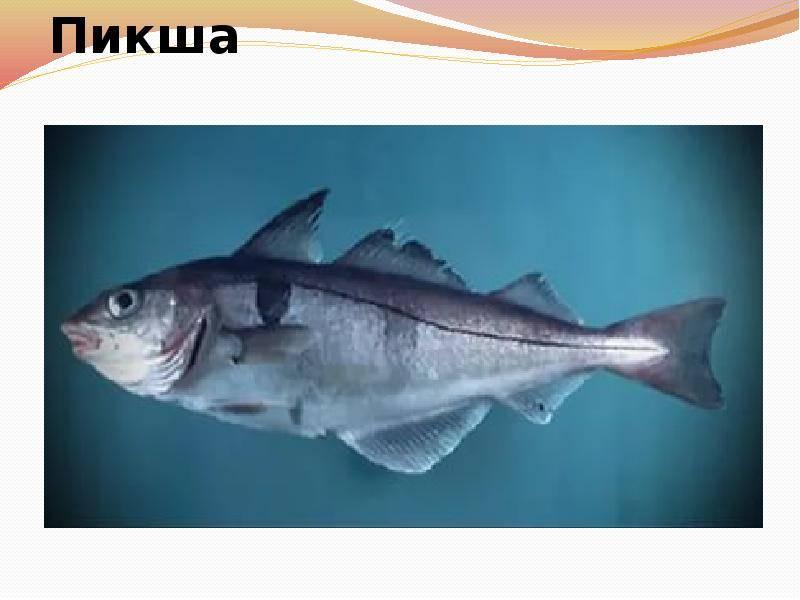 Рыба пикша: полезные свойства и вред для организма человека